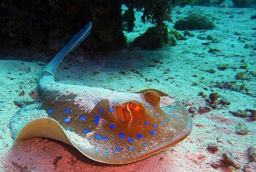 Blaupunktrochen Rochen Tauchen Unterwasser