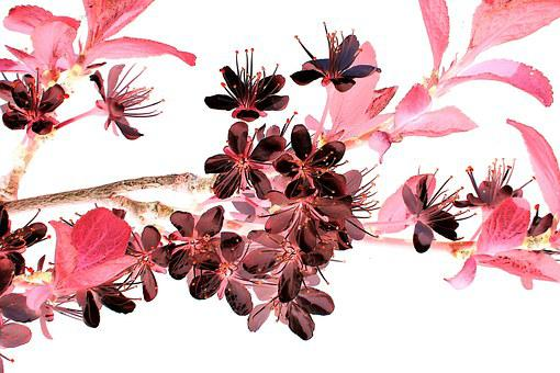 枝の開花, 花, ブロッサム, 変更, 日本, 負, 木, 分岐, スプリング