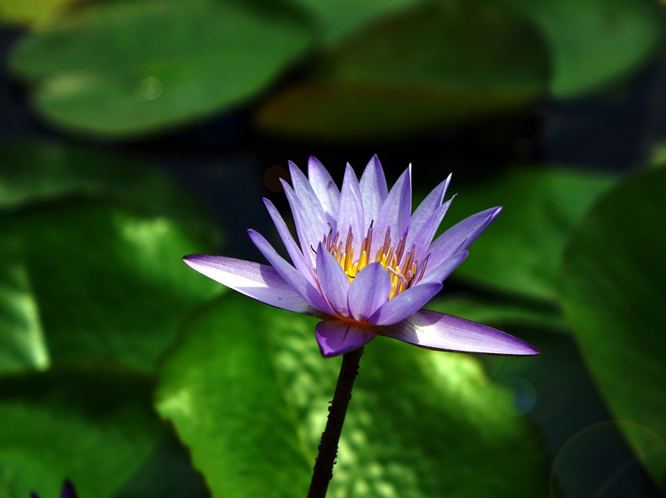 water, lily  free images on pixabay, Beautiful flower