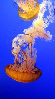 Jellyfish, Blue, Underwater, Marine