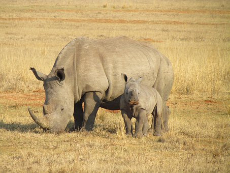 1 Free Rhinoceroses Rhinoceros Photos Pixabay