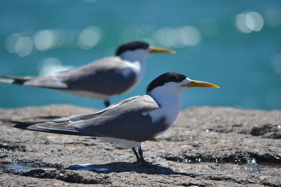 Хохлатые Крачки, Гранитный Остров, Южная Австралия