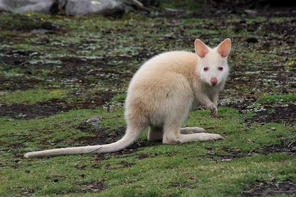 Kangourou Blanc 7