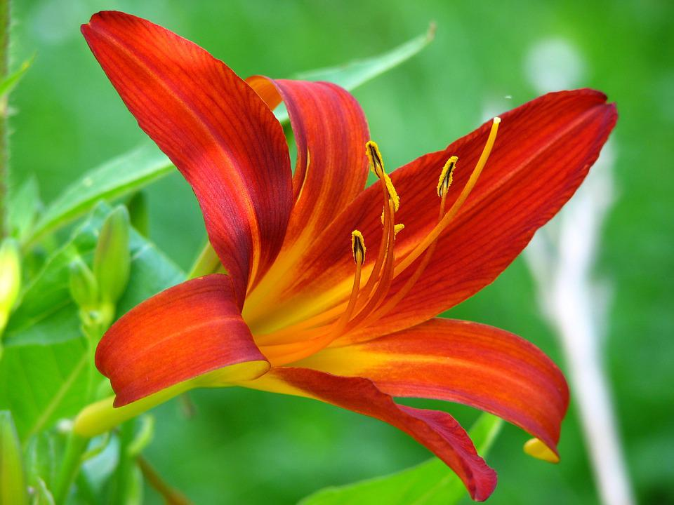 lily  free images on pixabay, Beautiful flower