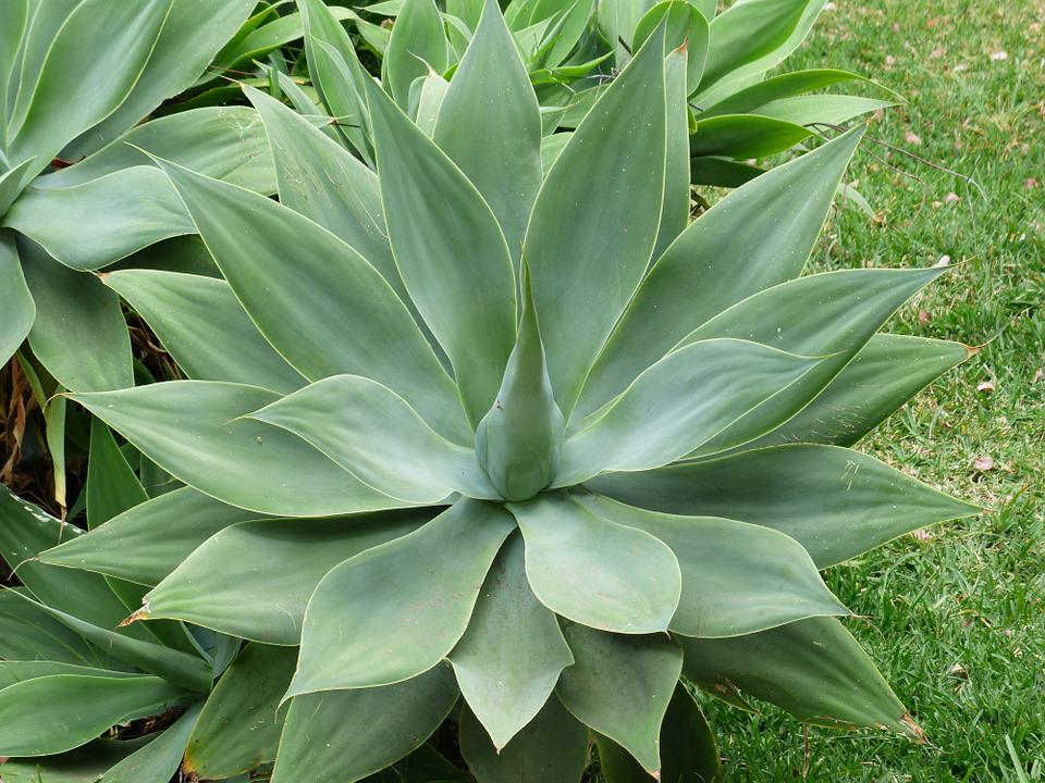 Free photo dragon tree agave leaves plant free image - Plantas de exterior resistentes al sol ...