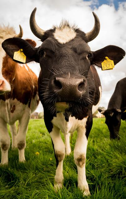free photo  livestock  cow  cattle  rural