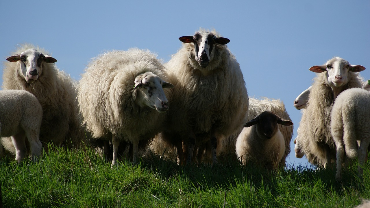 Картинки овец стадо, картинки
