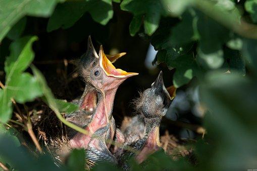 Hatchlings, Birds, Nest, Blackbirds