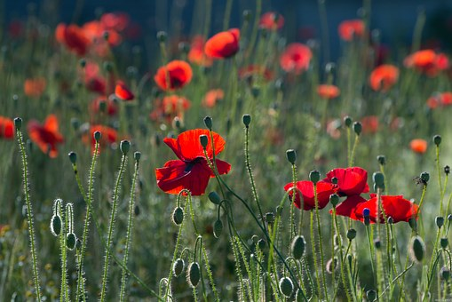 Poppies, Flowers, Nature, Summer
