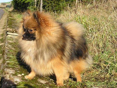 Dwarf Spitz, Pointed, Dog, Pet, Fur