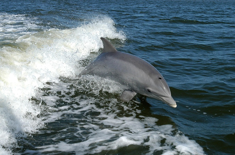 Dolphin, Bottlenose, Dolphins, Animals, Fauna