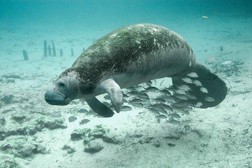 Fish Underwater Manatee Animals Fauna Mana