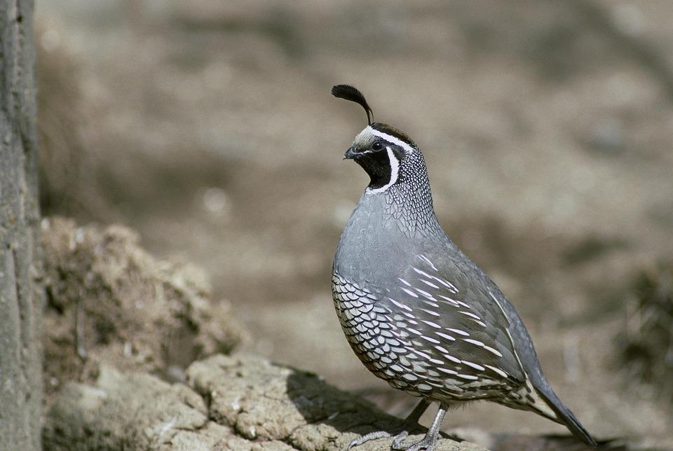 Codorniz, Aves, California, Animales, Fauna