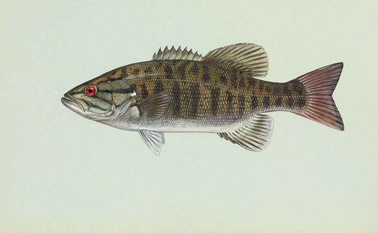 Fish, Smallmouth, Dolomieu, Micropterus