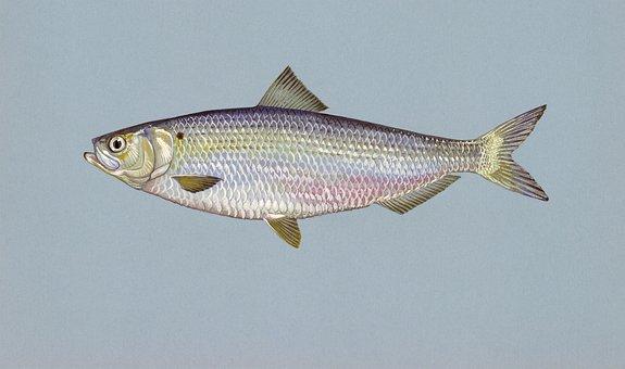 Hering Fisch Blueback Tiere Tierwelt Herin