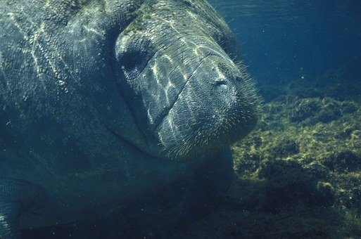 Manatee Marine Animals Sea Water Ocean End