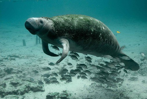 Manatee Mammal Underwater Marine Water Sea