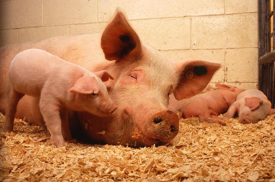 Śpiąca świnia wraz z prosiętami.