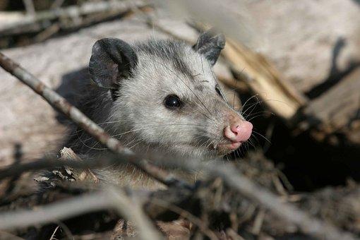 Virginiana, Didelphis, Animal, Opossum