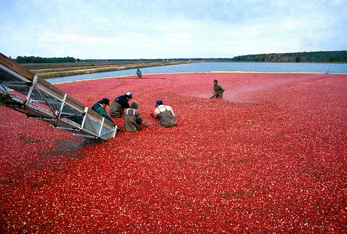 Cranberry Harvest Red Organic Food Berry F