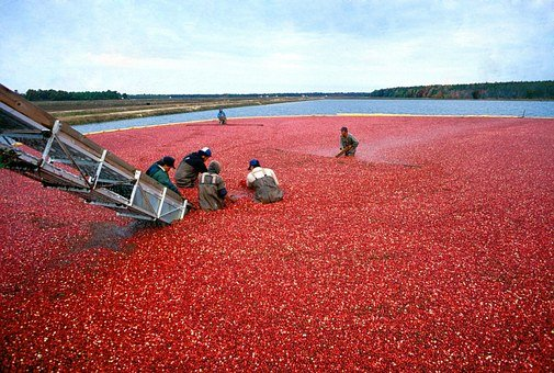 Cranberry, Harvest, Red, Organic, Food