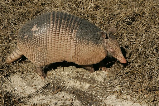 Armadillo, Animal, Ground, Wildlife