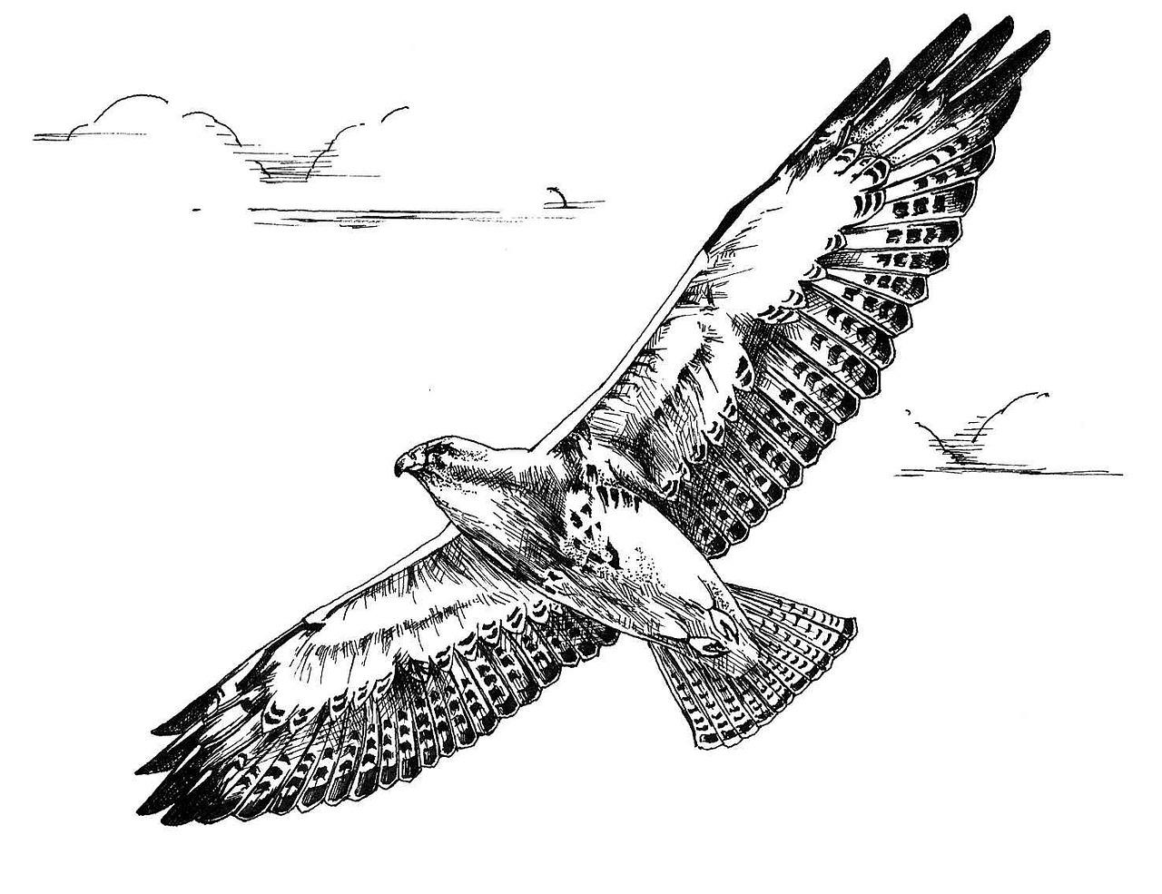 рисунок орла в полете вполне уверен