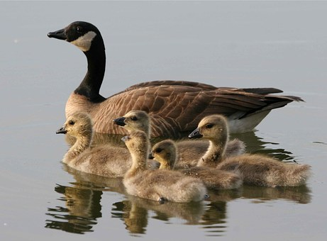 Canadensis, Branta, Water, Swimming