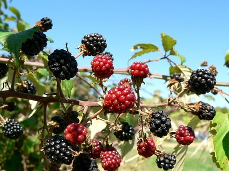 Mulberry, Berry, Fruit, Tree, Leaves