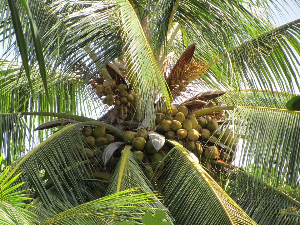 De palme arbre noix coco photo gratuite sur pixabay - Arbre noix de coco ...