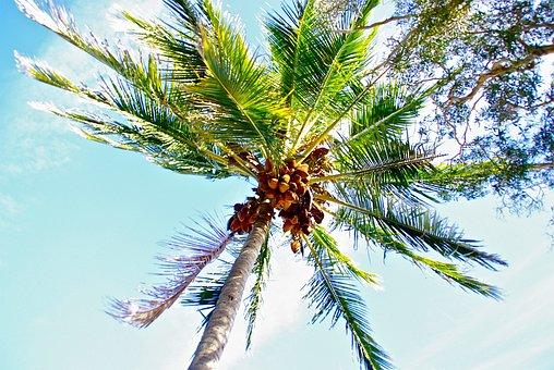 Arbre de noix coco images gratuites sur pixabay 2 - Arbre noix de coco ...