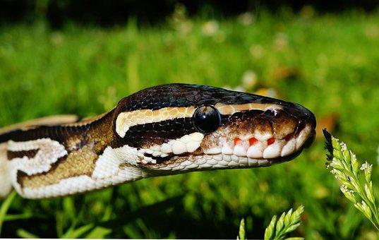 Snake, Python, Mojave, Wilderness