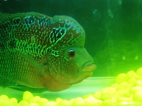 Fish, Green, Aquarium, Fish Tank, Water