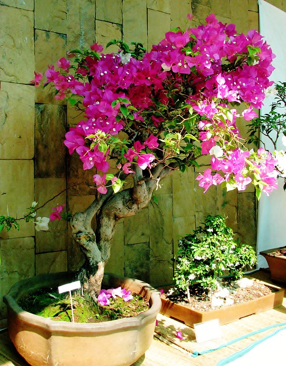 Bougainvillea Bonsai Small Free Photo On Pixabay