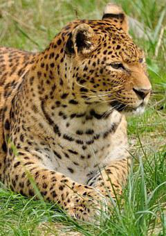 Leopard, Predator, Wildcat, Zoo, Animal