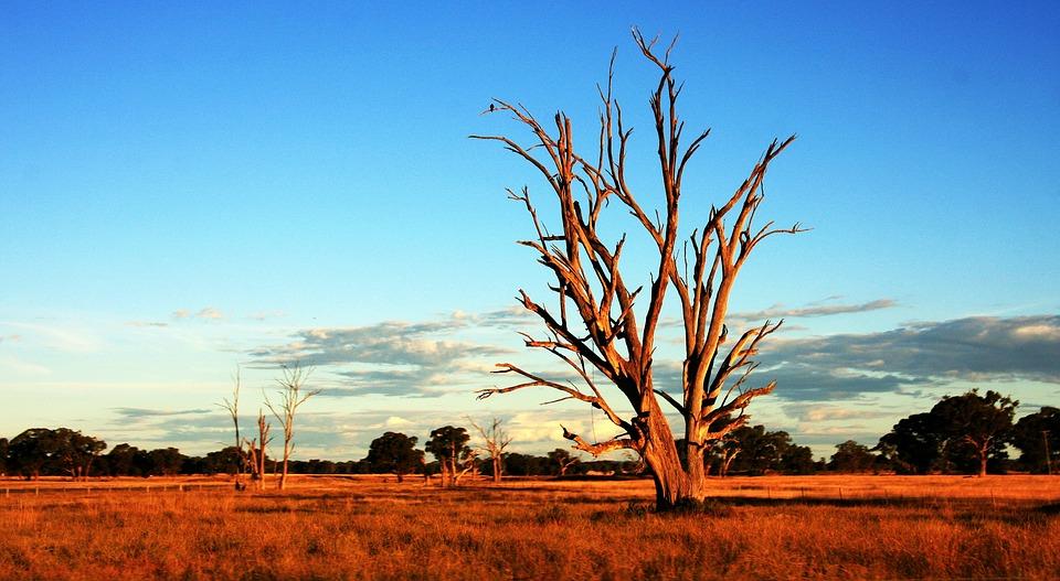 Arbre, Outback, L'Australie, Sec