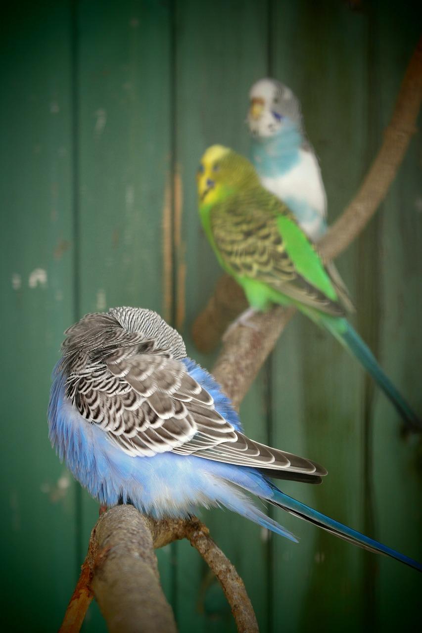 Окрасы волнистых попугаев - цвета, фото разных окрасов 4