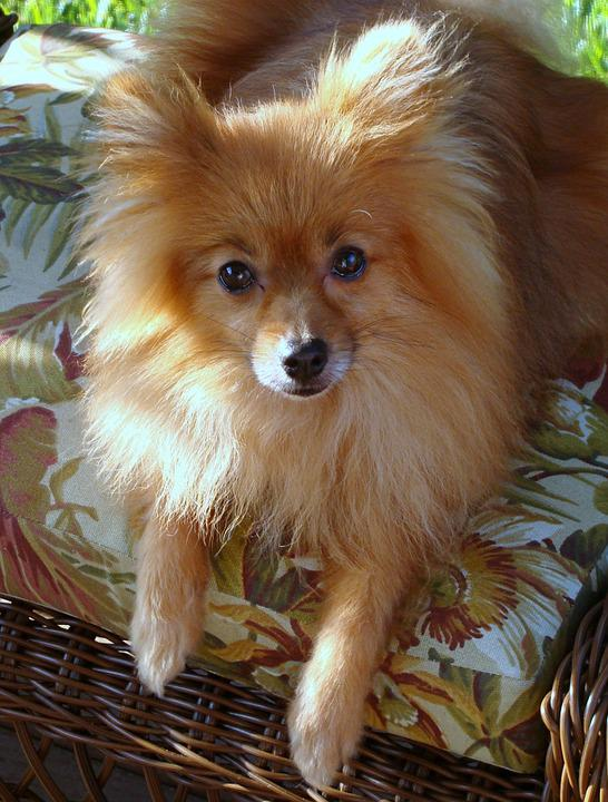 Amazing German Spitz Canine Adorable Dog - dog-392513_960_720  Perfect Image Reference_41659  .jpg