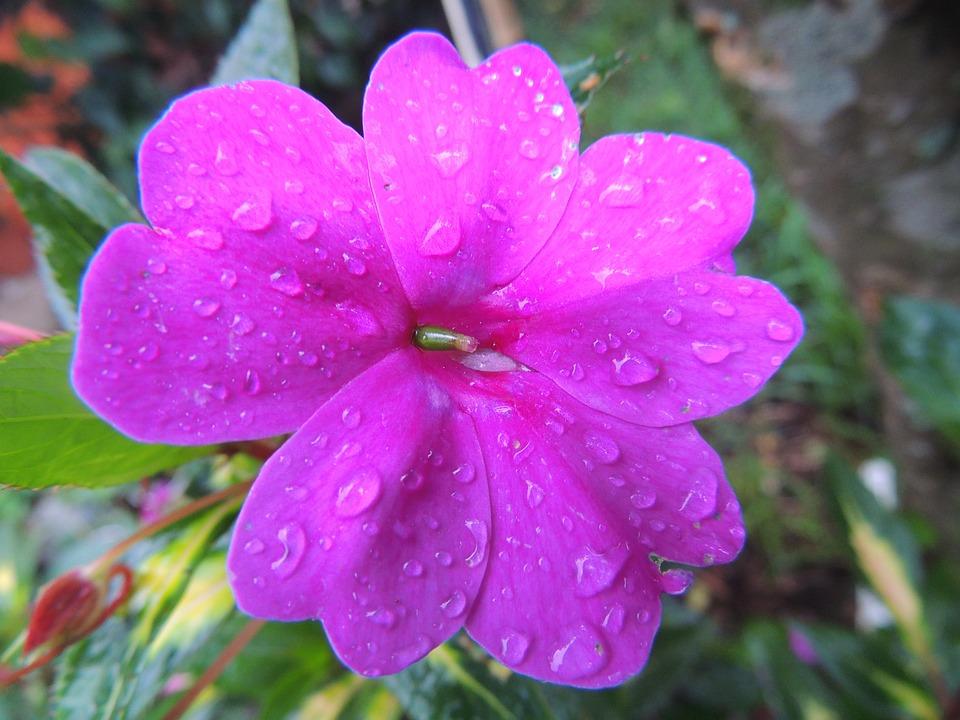 Gratis billede blomst natur kinesisk blomster gratis - Rosas chinas ...