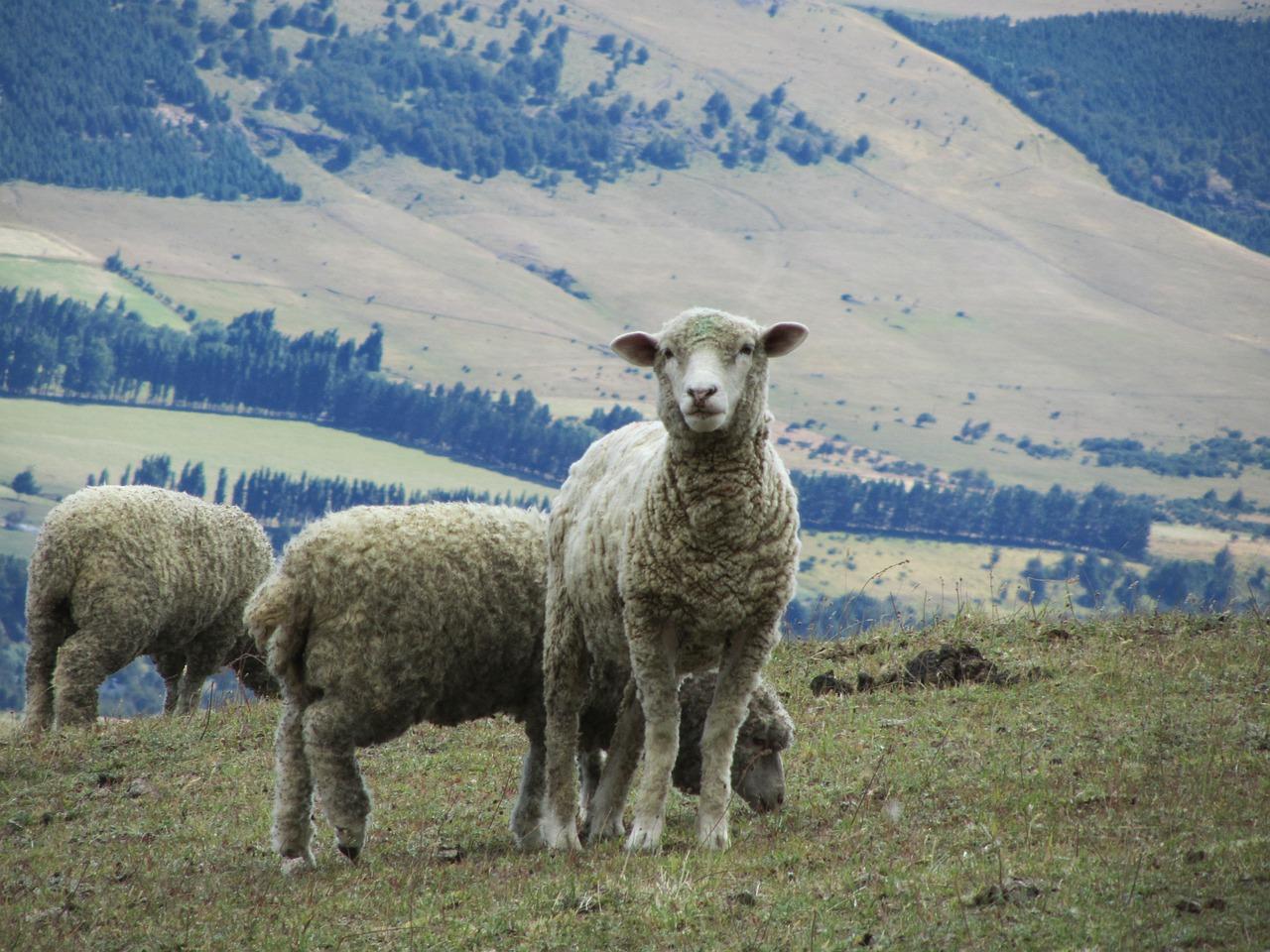 Картинки шерсть овцы