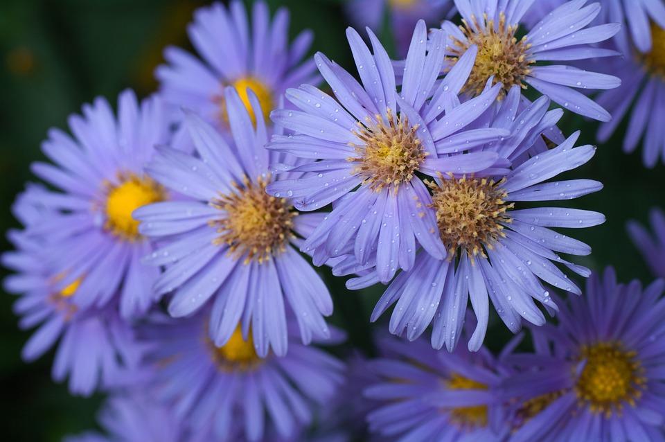 アスターの花言葉・アスターの色別花言葉|青/ピンク/白/紫など
