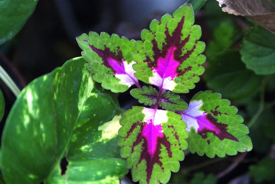 Coleo planta naturaleza foto gratis en pixabay for Plantas de hojas perennes para jardin