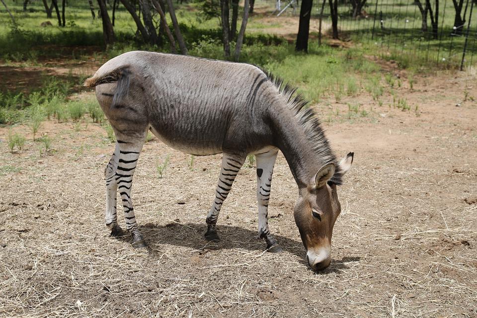 Exotischer Esel