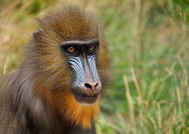 free photo mandrill monkey zoo animal free image on