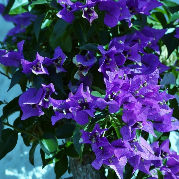 Bugenvil Ungu Bunga Semak Foto Gratis Di Pixabay