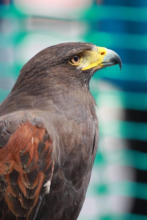 falcão pássaro ave de rapina foto gratuita no pixabay