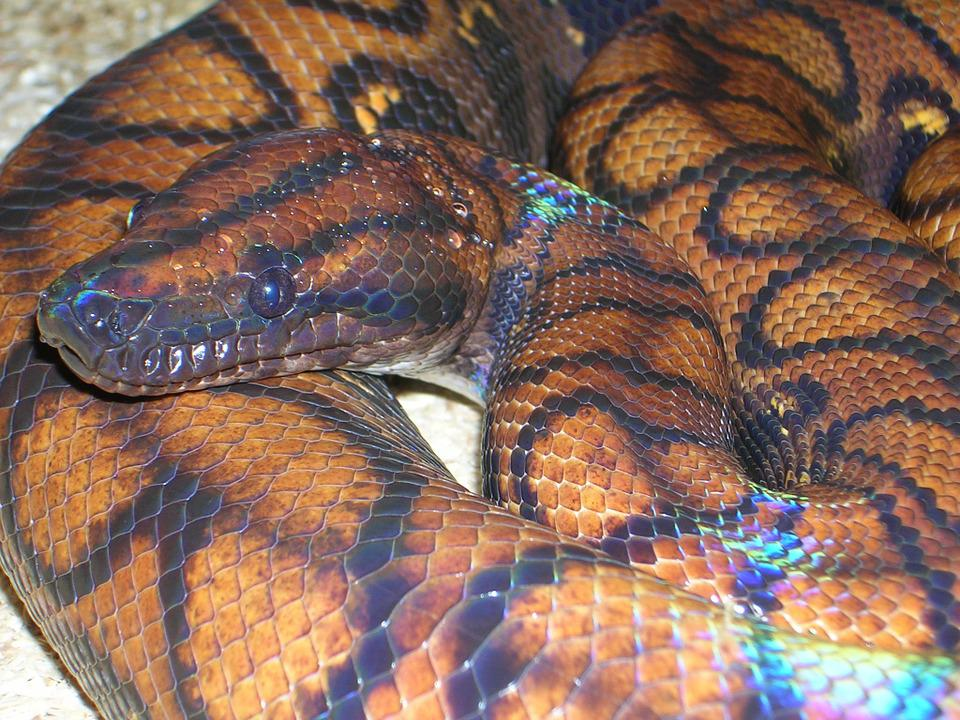 Free Photo Rainbow Boa Constrictor Boa Free Image On