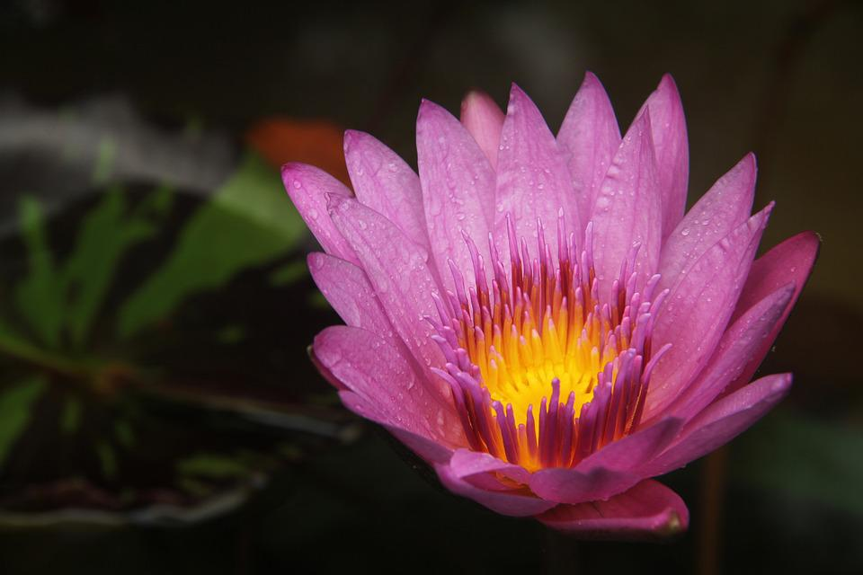 lotus  free images on pixabay, Natural flower