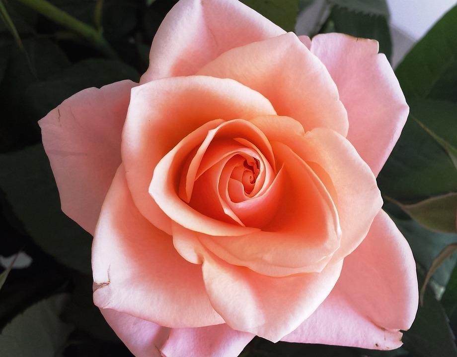 Pink Rose Flower Free Photo On Pixabay