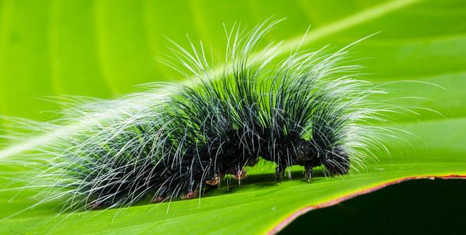 Caterpillar, Insect, Prickly, Hairy